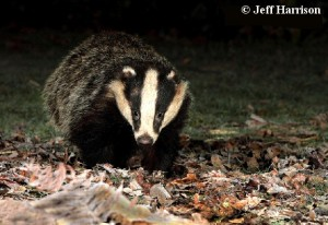 european_badger_016